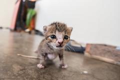 Growing (aludatan) Tags: life animal cat nikon kitten feeding fisheye d750 amateurs randomshoot club16