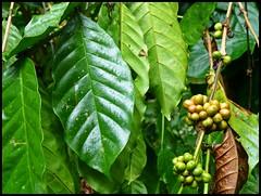 Sulawesi - Londa (abudulla.saheem) Tags: indonesia lumix kaffee panasonic sulawesi indonesien londa tanatoraja coffea rantepao tanahtoraja torajaland abudullasaheem dmctz31