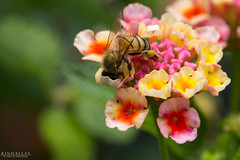 Looking for something (Kindallas) Tags: flowers flower macro nature canon insect fly spring bokeh bees bee honey t5 bzz 250mm
