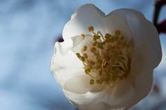Ume Blossoms (nak.viognier) Tags: osaka   umeblossoms ryokuchipark olympusstylussh2