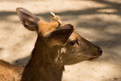 / Shika Deer (kimtetsu) Tags: animal japan deer jp  nara   narapark