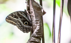 Owl Moth _0416 (hkoons) Tags: peru latinamerica southamerica america libertad amazon rainforest warm country spanish jungle owl tropical owlbutterfly tropics humid peruvian amazonrainforest amazonbasin sevennaturalwondersoftheworld loretoregion