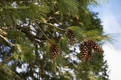 IMG_0887 (Emma Gordon10) Tags: trees nature abbey gardens outdoors pinecones anglesey