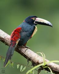 Aracari (Megan Lorenz) Tags: travel wild bird nature toucan rainforest costarica wildlife avian centralamerica wildanimals 2015 collaredaracari aracari mlorenz meganlorenz