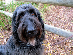 Mutual Adoration Society (Bennilover, off till Feb. 13) Tags: friends sunset love dogs fence walking happy eyes looking buddies trail leash labradoodle benni