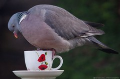 pigeon on tea cup (1) (Simon Dell Photography) Tags: life new wood old wild bird simon cup nature birds garden photography diy photo village tea pigeon wildlife sheffield yorkshire drinking feeder dell s12 hackenthorpe cuup