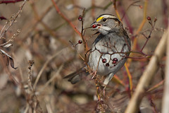"""""""The Gorging"""" (White-Throated Sparrow) (Jesse_in_CT) Tags: whitethroatedsparrow nikon200500mm"""