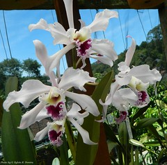 Laelia crispa (Sylvio-Orqudeas) Tags: flowers flores orchids orchidaceae species laelia orqudeas crispa espcies