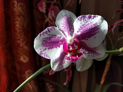 lovely bloom (Ian Muttoo) Tags: ontario canada orchid flower gimp mississauga 20160123140930edit