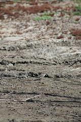 Green Lake (florahaggis) Tags: trees lake pelicans water birds australia victoria greenlake drought horsham nativebirds hoodedplover wimmera canoneos70d hoodeddottrell