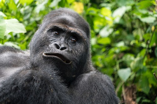 Tracking Gorillas in Kahuzi-Biega National Park