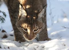 Lynx and Snow - January 2016 01 (reineckefoto) Tags: schnee winter snow lynx raubkatze luchs tierfotografie ralfreinecke lynxandsnow luchsundschnee luchsindeutschland