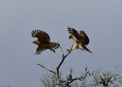 DSC_4851 (SKYCLIMBER) Tags: park state bend hawks brazos