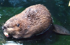 Beaver in zoo (Animal People Forum) Tags: water animals swimming zoo rodent beaver captive mammals captivity beavers