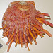 Spondylus versicolor (golden thorny oyster) 1