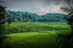 Ricefields (Maksim Million) Tags: travel summer vacation green art nature beautiful canon indonesia landscape photography woods rice artistic candid kittens explore ricefield hdr