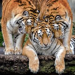 Tigers (Hanjosan) Tags: copenhagen zoo nikon winner tigers matchpoint d7000 t495 d7200