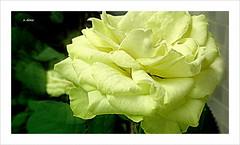 Bom domingo ! (o.dirce) Tags: flower nature natureza flor rosa suavidade odirce