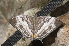 Cyrestis cocles (moloch05) Tags: malaysia taman negara