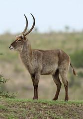Kobus ellipsiprymnus  (Water Buck) (Nick Dean1) Tags: animal southafrica antelope animalia krugernationalpark satara waterbuck chordata kobusellipsiprymnus shitlhavedam transportdam
