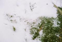 Snowy Moss (Rachael.Robinson) Tags: winter snow canada color film grass 35mm island moss fujifilm campobello
