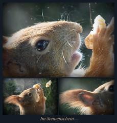 """Im Sonnenschein vor schmutziger Scheibe ... (flixx-ak) Tags: germany deutschland squirrel eichhörnchen mosaik 2016 flixxakoffenbachammainhessen """"anvormeinemfenster"""""""