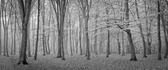 Beech Pano - Surrey (Christopher Pope Photography) Tags: aldershot autum beech christopherpope fog mist nikond610 sunrise trees