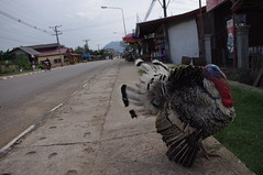 Bird, Vang Vieng, Lao, Laos (ARNAUD_Z_VOYAGE) Tags: street city building art beach nature architecture landscape asia state action country capital southern portion southeast laos peninsula region rpublique department lao indochina municipality populaire dmocratique