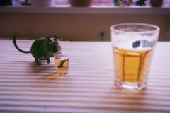 It's friday so we're drinkin beer (JonasSi) Tags: light party beer glass rodent amber time small ale drinks alcohol degu friday degus drinker octodon