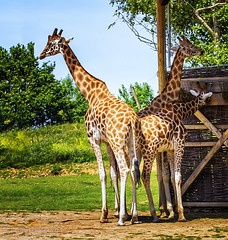 Giraffen (photoga photography) Tags: england nature animals canon animalkingdomelite photogaphotography
