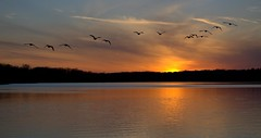 Sunset Flight (KsCattails) Tags: sunset sky lake reflection nature water flying geese nikon outdoor flight kansas shawneemissionpark kscattails