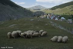 OVELLES DE LUKOMIR (Bsnia i Herzegovina, agost de 2012) (perfectdayjosep) Tags: balkans balcanes balcans lukomir perfectdayjosep bosnieiherzegovine bsniaiherzegovina