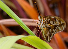 Agraulis vanillae (baldr.almeida) Tags: brazil plant macro southamerica animal standing butterfly insect leaf wings eyes lepidoptera borboleta tamron maracuj gulffritillary nymphalidae agraulisvanillae heliconiini passionfruitbutterfly