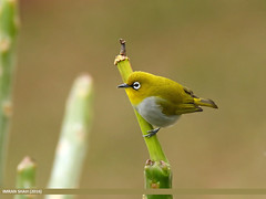 Oriental White-eye (Zosterops palpebrosus) (gilgit2) Tags: avifauna birds canon canoneos7dmarkii category fauna feathers g9 geotagged imranshah islamabad location orientalwhiteeyezosteropspalpebrosus pakistan species tags tamron tamronsp150600mmf563divcusd wildlife wings gilgit2 zosteropspalpebrosus 05birds