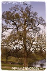 Acer campestre 'Field Maple' (farmer dodds) Tags: tree maple acer northyorkshire studleyroyal aceraceae sapindaceae acercampestre fieldmaple