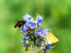 Two hungry fellows (R_Ivanova) Tags: blue red plant flower color macro green nature colors yellow butterfly bug garden spring sony    rivanova