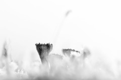 (IJs)Bekermos (Pieter ( PPoot )) Tags: macro bevroren zwartwit highkey ijs dwingelderveld kristallen bekermos