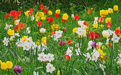 Happy Easter! | Spring Flowers at Ascott House Gardens, Buckinghamshire, England (ukgardenphotos) Tags: uk easter spring tulips joy happiness narcissi springflowers eng happyeaster easterflowers prettyflowers happyflowers eastertulips ascotthouse ascotthousegardens narcissimeadow