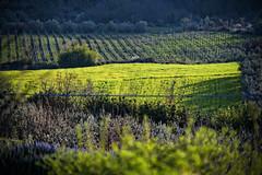 Cennina (S. Hemiolia) Tags: verde green zeiss landscape hills 180 tuscany olympia dxo toscana manualfocus f28 vigne colline arezzo valdarno sonnar 180mm bucine aretino vigneti filari cennina collinetoscane d700 valdambra