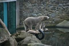 IJsbeer (tasj) Tags: zoo ouwehandsdierenpark