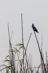 Graufischer (Ceryle rudis) - Okavango, Namibia (Nov. 2015) (anschieber   niadahoam.de) Tags: 2015 201511 20151114 afrikaafrica bontvisvanger caprivi eisvögelalcedinidae graufischercerylerudis kingfisher namibia namibia2015 okavangodelta piedkingfisher rackenvögelcoraciiformes vögelbirdsaves wassereisvögelcerylinae eisvogel okavangograufischer okavangoeisvogel