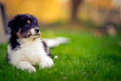 Puppy Bokeh (Bokehschtig (busy)) Tags: dog green grass puppy puppies dof bokeh sony tricolor f2 aussie australianshepherd walimex a7 135mm samyang blacktri sonya7 samyang1352 walimexpro1352