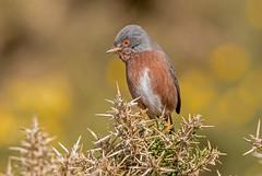 JWL9538 Dartford Warbler..... (jefflack Wildlife&Nature) Tags: nature birds countryside bravo wildlife ngc npc avian warbler songbirds wildbirds warblers dartfordwarbler coastalbirds dartfords