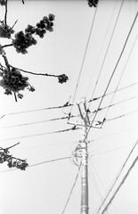 (spring and electricity 3) (Dinasty_Oomae) Tags: street blackandwhite bw flower monochrome blackwhite wire plum zeissikon  utilitypole  ibaraki   contessa      ooarai