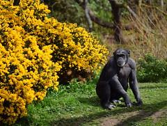Smile for the Camera (Keith Mac Uidhir  (Thanks for 3.5m views)) Tags: ireland dublin black animal yellow zoo chimp irland ape chimpanzee primate dier animalia tier dublino irlanda irlande ierland irska dubln irlandia lirlanda irsko  airija irlanti  cng  iirimaa ha     rorszg         rlnd