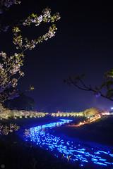 20160305-DSC_2319.jpg (d3_plus) Tags: street sea sky plant flower nature japan spring nikon scenery nightshot cloudy bloom  cherryblossom  sakura lightup nightview 28105mmf3545d nikkor    shizuoka    izu   28105   rapeblossom    28105mm  zoomlense  minamiizu    kawazuzakura    28105mmf3545 d700 281053545  nikond700 shimokamo aiafzoomnikkor28105mmf3545d nightcherryblossom 28105mmf3545af    southcherryblossomandrapeblossomfestival aiafnikkor28105mmf3545d shootingstarsandsakurainnight sakurainnight