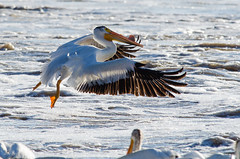 Amer. White Pelican lift-off (wildwood4est) Tags: birds wildlife places manitoba lockport americanwhitepelican
