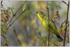 palm warbler (Christian Hunold) Tags: bird philadelphia bokeh warbler songbird johnheinznwr woodwarbler palmwarbler palmenwaldsnger christianhunold