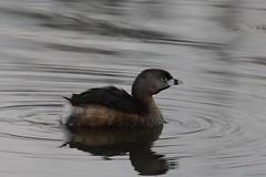 Pied-billed Grebe looking up (Rita Wiskowski) Tags: cute water up wisconsin pond looking ripple small waterbird lookingup tiny grebe millpond oakcreek piedbilled piedbilledgrebe milwaukeecounty southmilwaukee