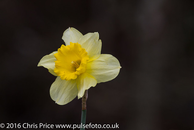 Daffodils at Sherfield Pond
